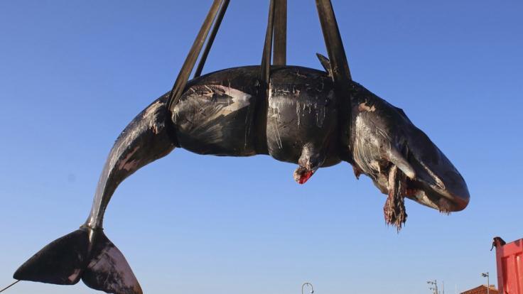 Vor Sardinien wurde ein verendeter Pottwal gefunden. In seinem Magen: 20 Kilogramm Plastik-Müll.