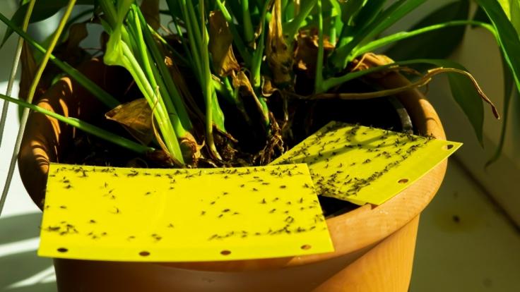 Trauermücken kann man mit Gelbtafeln bekämpfen. (Foto)