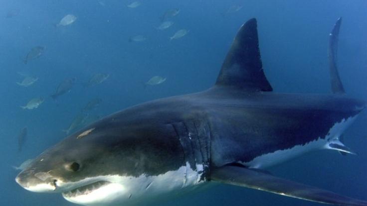 2015 war das Jahr mit der höchsten Anzahl an Hai-Attacken.