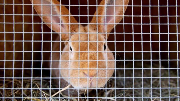Es gibt wenige Krankheiten, die für Kaninchen richtig gefährlich sind. Die Chinaseuche gehört dazu. (Foto)