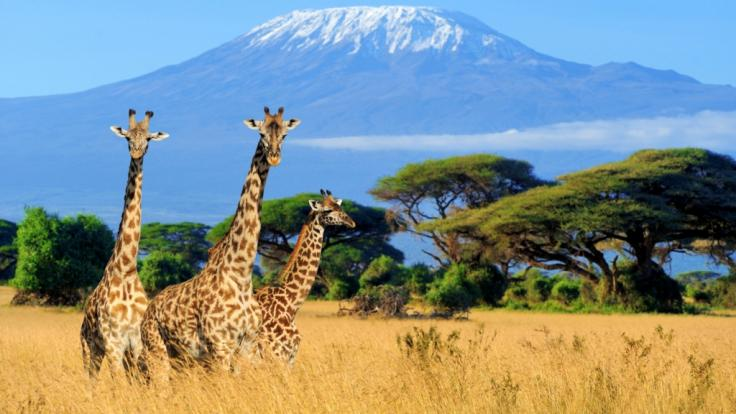In Wildpark von Kenia verunglückten zwei Giraffen auf tragische Weise (Foto)
