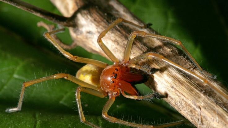 Der Ammen-Dornfinger ist die einzige für den Menschen giftige Spinnenart in Deutschland. (Foto)