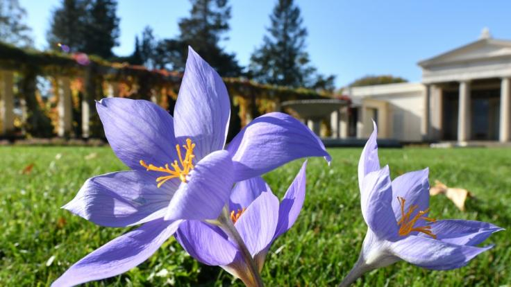 Herbstzeitlose blühen im Park von Sanssouci am Schloss Charlottenhof auf einer Wiese. (Foto)