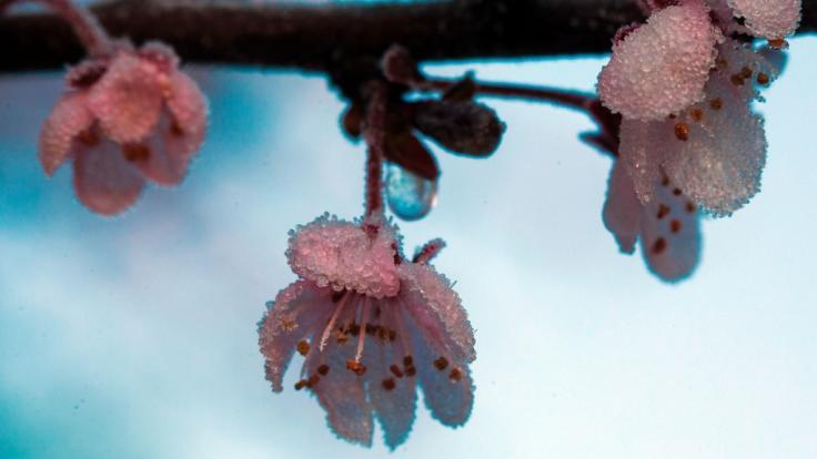 Eine Raureifschicht bedeckt die Blüten einer Blutpflaume in Mecklenburg-Vorpommern. (Foto)