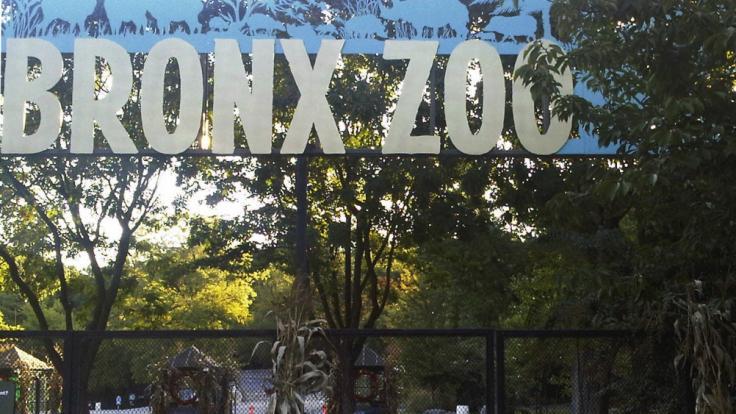 Im Bronx Zoo in New York ist das Coronavirus bei einem Tiger nachgewiesen worden.