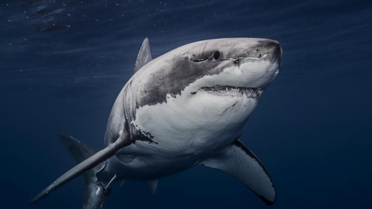 Treibt ein riesiger Weißer Hai vor der britischen Küste sein Unwesen? (Foto)