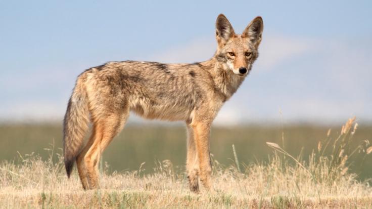 Ein Kojote hat ein dreijähriges Mädchen zerfleischt. (Foto)