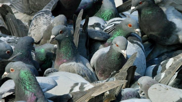 Wenn sie in Massen auftreten, sind Tauben Schädlinge, so ein Gerichtsurteil. (Foto)