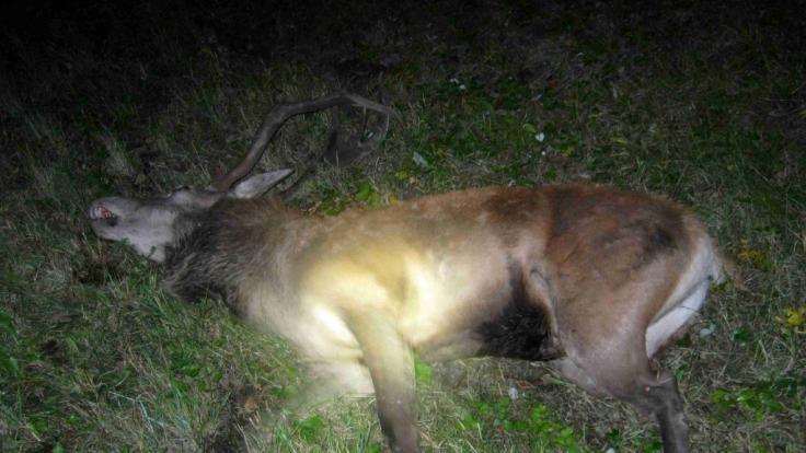 Unbekannte sollen einem toten Hirsch den Kopf abgesägt haben. (Symbolbild) (Foto)