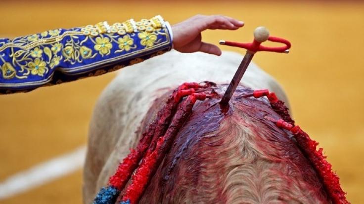 In Spanien wurde ein Torero lebensgefährlich verletzt. (Foto)