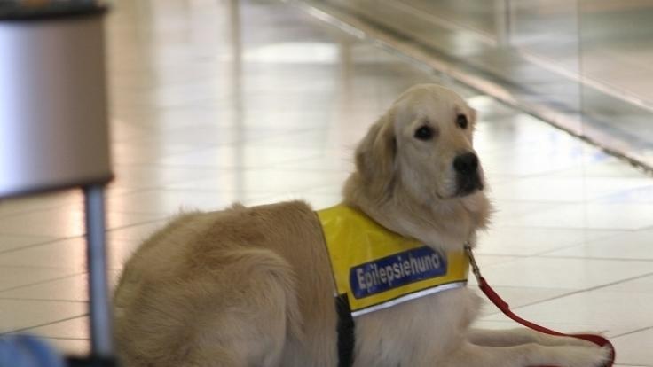 Ein Golden Retriever dient als Epilepsiehund. (Foto)