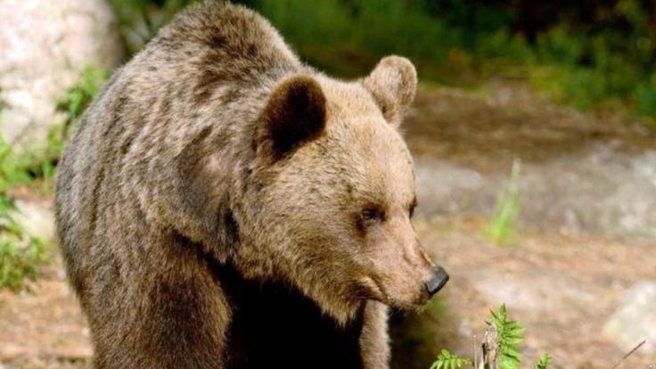 Tödliche Bären-Attacke in Russland: Braunbär zerfleischt Zweifach-Mutter (39)