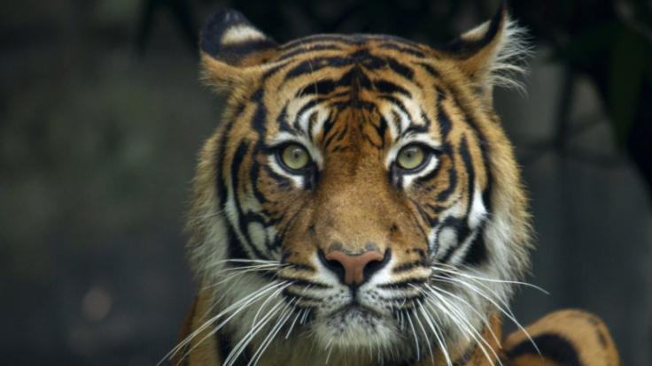 In Tschechien hat ein Tiger einer Frau die Hand abgebissen. (Foto)