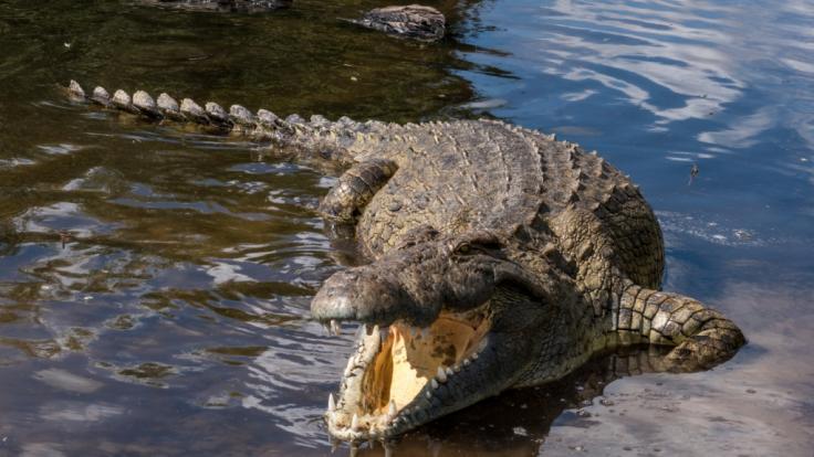 In Indonesien ist ein Junge komplett von einem Krokodil verschlungen worden - das Kind überlebte den Angriff nicht (Foto)