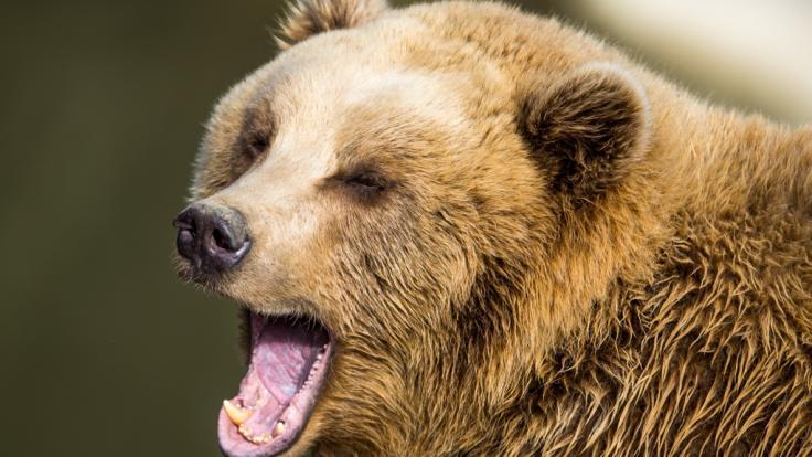 In einem Ferienresort in Sotschi wurde ein Junge von zwei Braunbären getötet. (Foto)