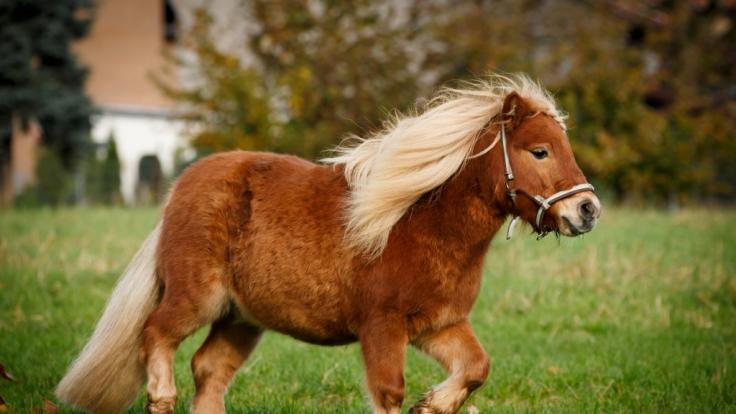 In den USA trieb ein Pony-Vergewaltiger monatelang sein Unwesen. (Foto)