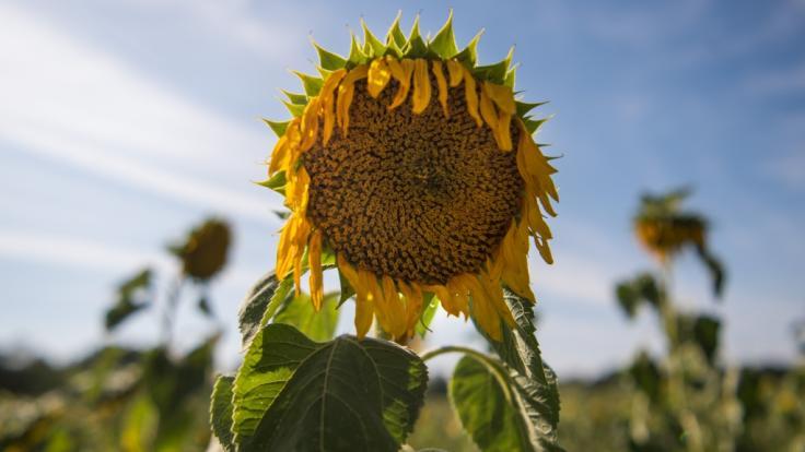 Bei Temperaturen über 30 Grad lassen nicht nur die Pflanzen die Köpfe hängen.