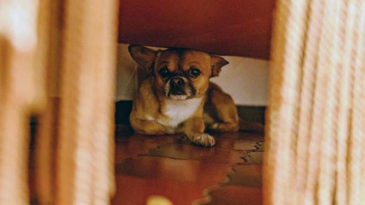 Lärm lässt viele Tiere panisch werden. Mit etwas Vorbereitung können Halter den Stress aber wenigstens abmildern. (Foto)