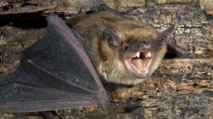In Nordrhein-Westfalen wurde bei einer Fledermaus die seltene Fledermaustollwut nachgewiesen. (Foto)
