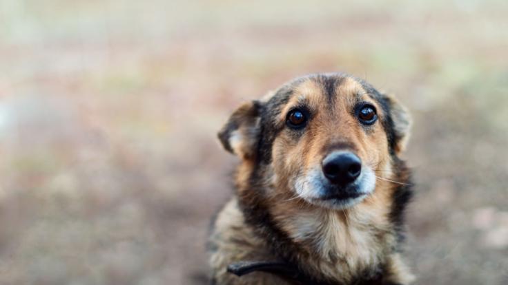Nachdem er beim Umzug zurückgelassen worden war, hat der Hund Cupid in Harrisburg mehrere Wochen auf die Rückkehr seiner Familie gewartet. (Foto)