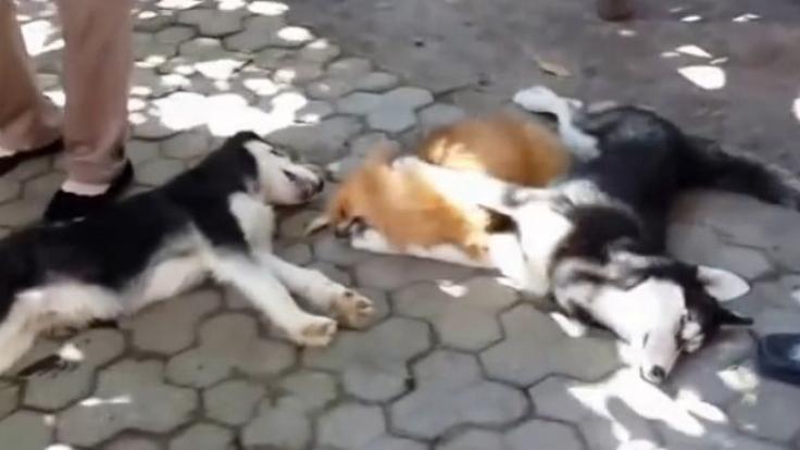 Hunde im Todeskampf - und es werden noch viel mehr.