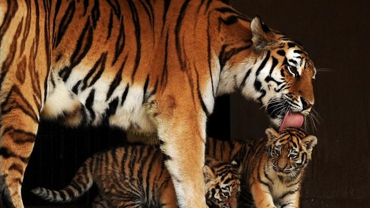 Tigermama Hanya leckt ihre Babys, die zugleich ihre Enkel sind.