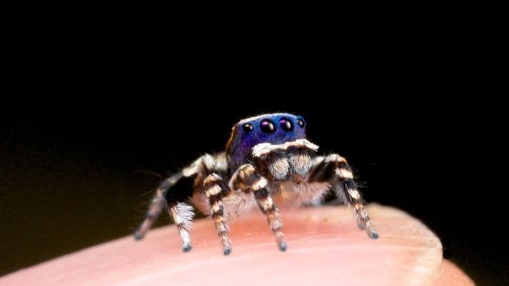 """Um einen Größenvergleich zu ermöglichen, hat Wissenschaftler Jürgen Otto alias """"Peacock Spiderman"""" eine maratus personatus auf seinem Zeigefinger platziert und fotografiert. Der Unterschied ist erstaunlich. (Foto)"""