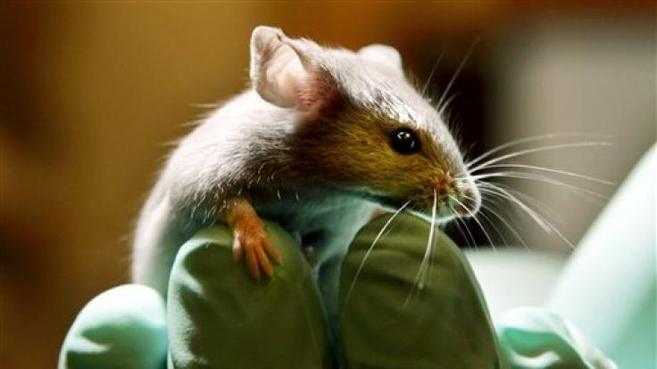 Unser liebstes Versuchskaninchen, die Maus, ist jetzt genetisch komplett entziffert.  (Foto)