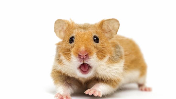 Ein Hamster biss ein Mädchen in Großbritannien beinahe tot. (Foto)