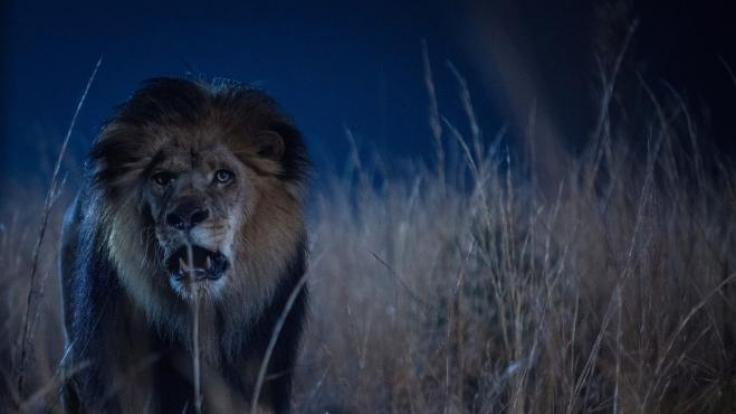Nicht nur in der Wildnis werden die Säugetiere Menschen gegenüber immer aggressiver ... (Foto)