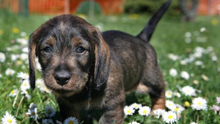 Dackellähmung kann jeden Hund treffen (Foto)