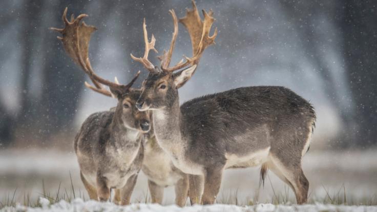 Die tödliche Krankheit unter Wild wie Hirschen, Rehen und Elchen breitet sich langsam, aber stetig in den USA aus.
