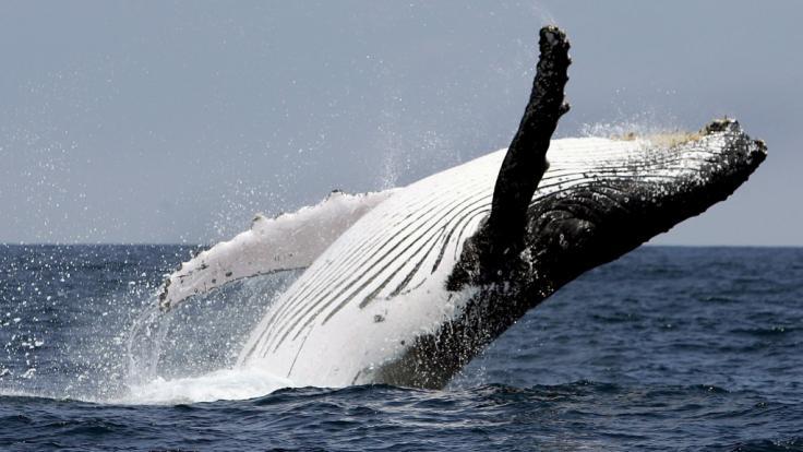 Ein riesiger Buckelwal hätte an der kalifornischen Küste beinahe zwei Wassersportlerinnen verschlungen (Symbolbild).