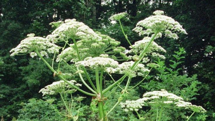 Bei der Herkulesstaude sind alle Pflanzenteile hochgiftig und lösen bei Hautkontakt schwere Verbrennungen aus.