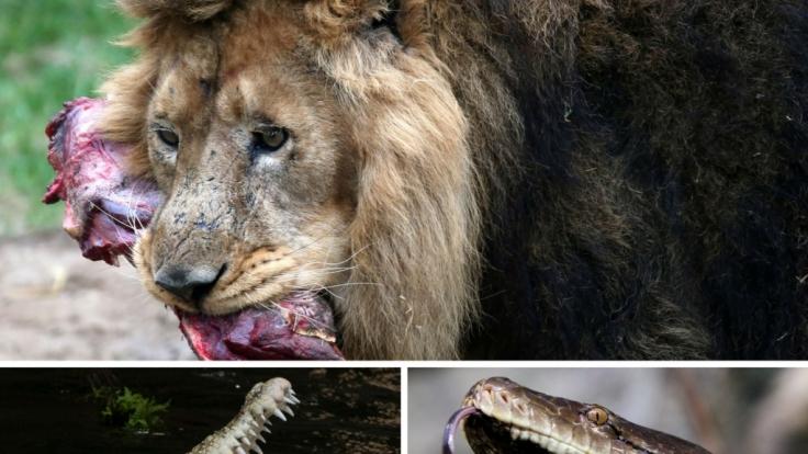 Diese Tiere fressen Menschen. (Foto)