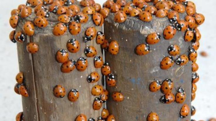Im Winter rotten sich Marienkäfer zu Gruppen zusammen. (Foto)