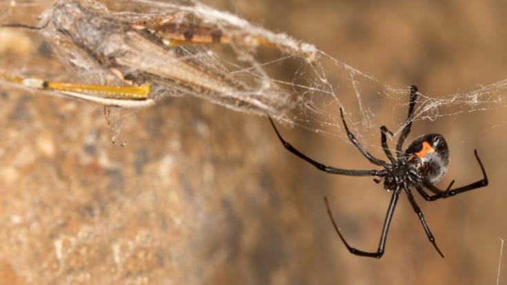 Der Biss einer Spinne endete für einen Mann aus Großbritannien mit einer Amputation (Symbolbild).