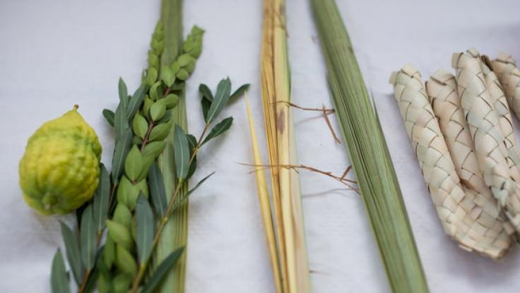 Im Judentum sind der Palmzweig, der Myrtenzweig, die Bachweide und die Zitrusfrucht geläufige Symbole für das Laubhüttenfest Sukkot, das 2016 vom 17. bis 23. Oktober gefeiert wird.