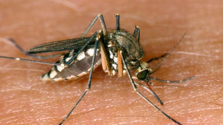 Eine Ausbreitung des West-Nil-Virus wird befürchtet. (Foto)
