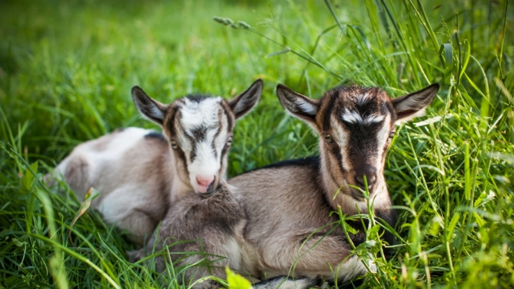 Neugeborene Ziegen haben für gewöhnlich einen Kopf und zwei Augen - nicht so jedoch ein Exemplar aus Pakistan (Symbolfoto).