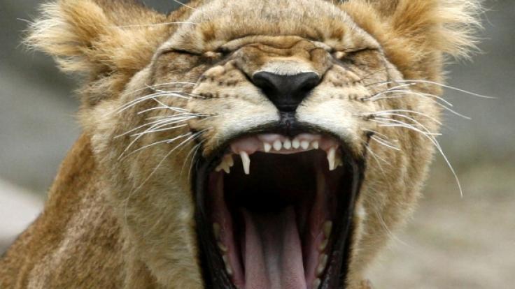Zirkus-Löwin beißt Mädchen in Russland ins Gesicht