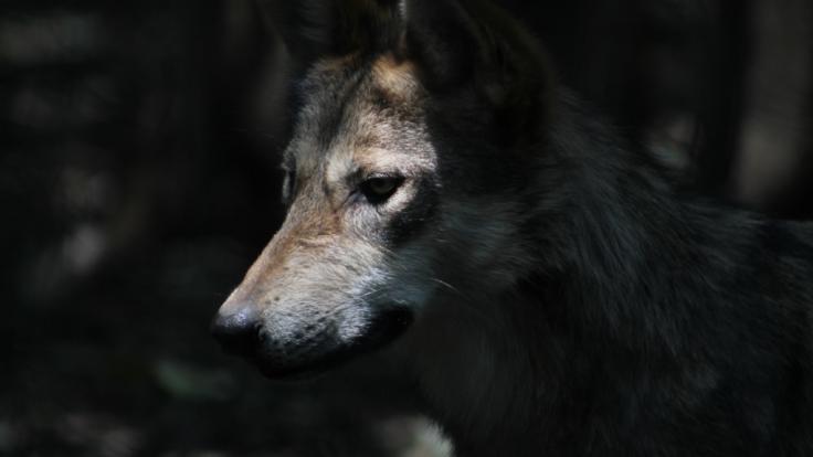 Ein Wolf wurde brutal ermordet und anschließend im See versenkt. (Foto)