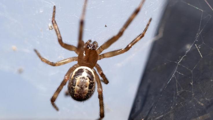 Spinne Groß Deutschland