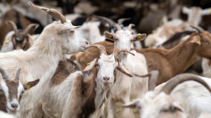 In Irland wird eine Kleinstadt von einer Ziegenherde terrorisiert. (Foto)