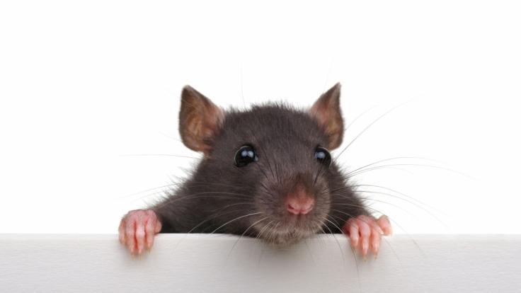 Am 25. Januar 2020 läuten die Chinesen das Jahr der Ratte ein.