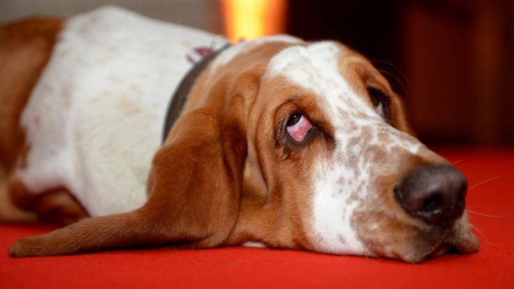 Ein Mann in den USA soll sich mehrfach an einem Basset Hound vergangen haben (Symbolbild). (Foto)