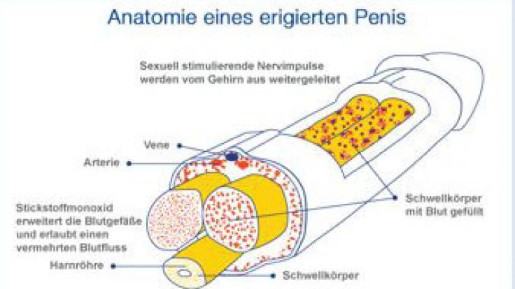 Für eine Erektion ist ein kompliziertes Zusammenspiel verschiedener anatomischer Funktionen notwendig.