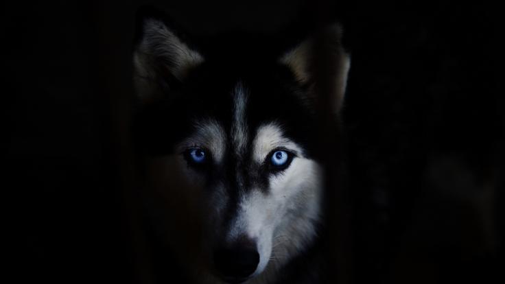 In England zerfleischte ein Husky eine Frau 45 Minuten lang.
