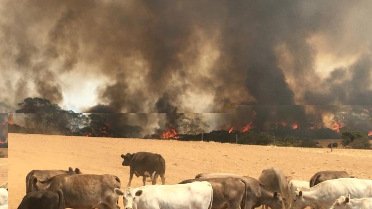 Rinder vor einer Feuerwand auf der Känguru-Insel in Australien.