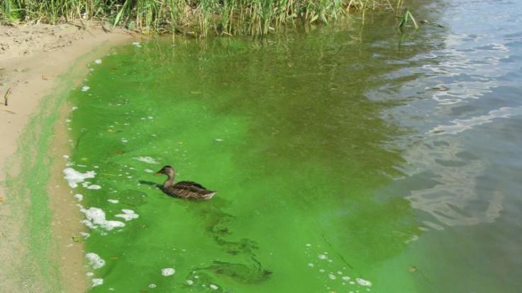 Blaualgen sind eher grün als blau. Wer sie im Gewässer entdeckt, sollte zumindest Kinder und Hunde nicht mehr baden lassen. (Foto)